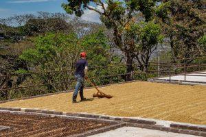 Coffee Bean Production Hacienda La Chimba